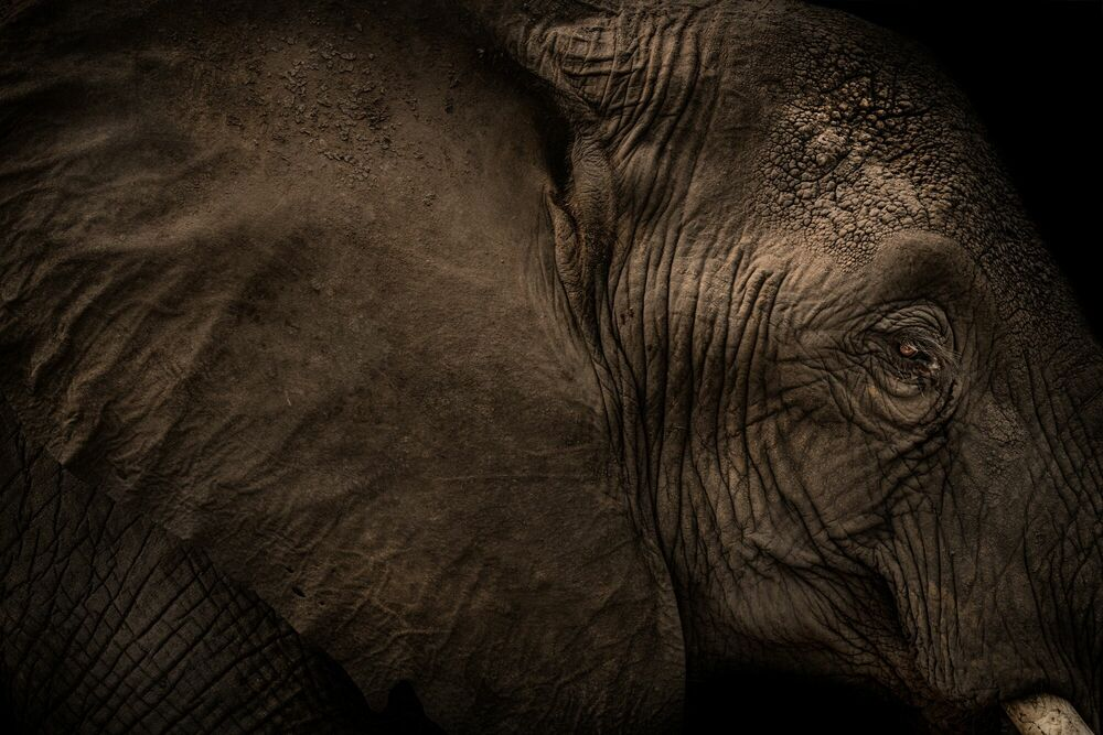 Photographie ELEPHANT EAR - RODNEY BURSIEL - Tableau photo