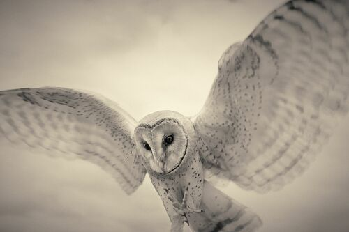 Barn owl - ANTTI VIITALA - Fotografia