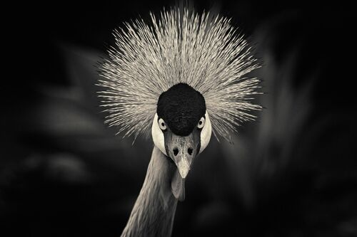 Crowned crane - ANTTI VIITALA - Photograph