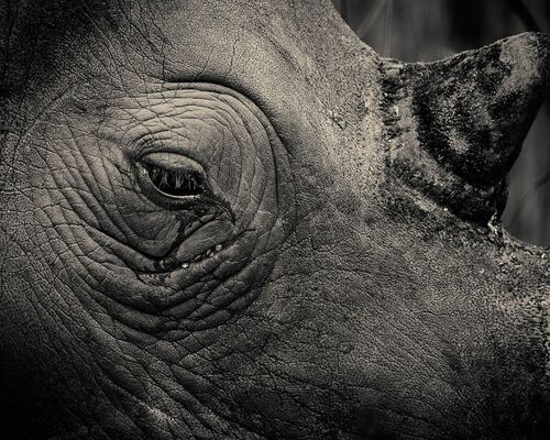 Rhinotears - ANTTI VIITALA - Fotografia