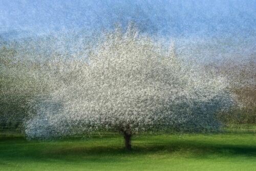 FLOWERING APPLE TREE - ARNE OSTLUND - Kunstfoto