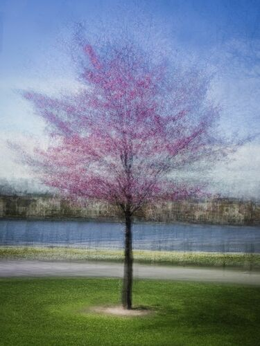 JAPANESE CHERRY TREE - ARNE OSTLUND - Photograph
