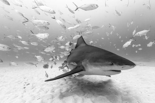 BULL SHARK AT PLAYA - CHRISTIAN VIZL - Kunstfoto