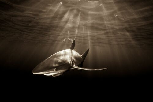 SILKIE SHARK AND AFTERNOON SUNRAYS - CHRISTIAN VIZL - Kunstfoto