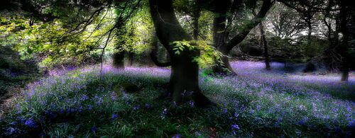 Bluebell Wood -  DAVE - Photographie