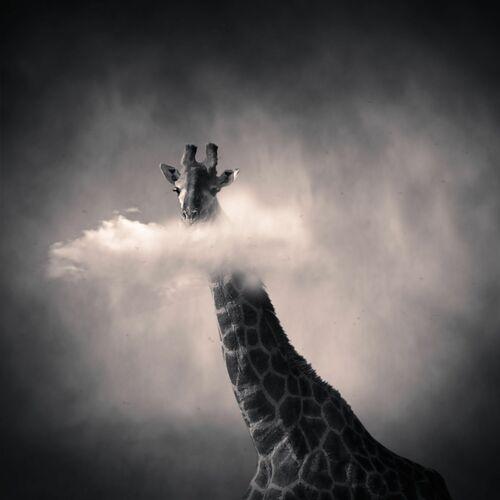 Girafe - DENIS OLIVIER - Fotografía