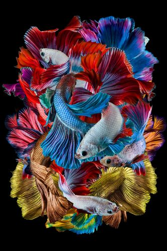 DANCING BETTA FISH - DHIKY ADITYA - Photograph