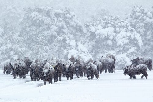 Bisons d'Europe dans la tourmente de neige - ERIC TRAVERS - Fotografie
