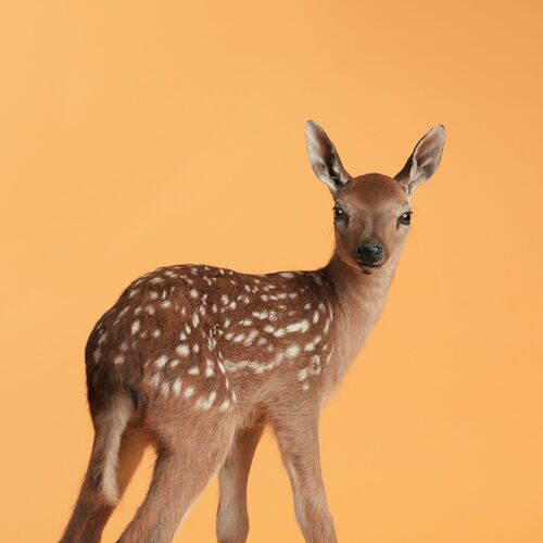 ORANGE FAWN - GUILLAUME DUTREIX - Fotografia