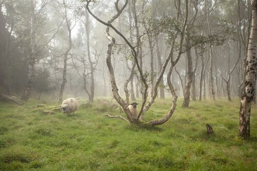 Sheep in the woods - James Mills - Photograph