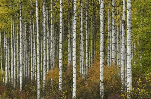 ASPEN GROVE IN AUTUMN -  JOHN EASTCOTT ET YVA MOMATIUK - Photograph