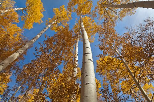 GOLDEN ASPEN CANOPIES II