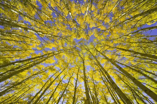GOLDEN ASPEN CANOPIES