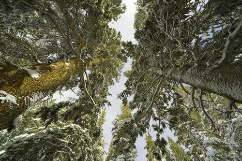 LODGEPOLE PINES IN SNOW -  JOHN EASTCOTT ET YVA MOMATIUK - Photograph