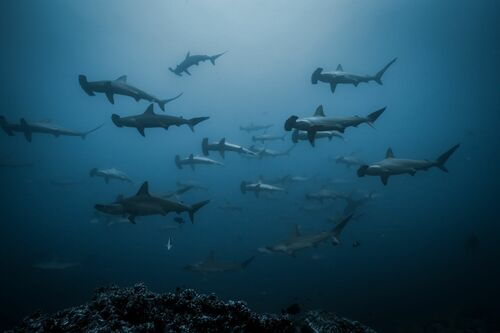 SCHOOL OF SCALLOPED HAMMER HEAD SHARKS - JOHN KOWITZ - Fotografie
