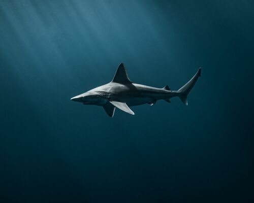 SUNSET SHARK - JOHN KOWITZ - Kunstfoto