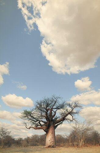 Baobab #7 - KLAUS TIEDGE - Photograph