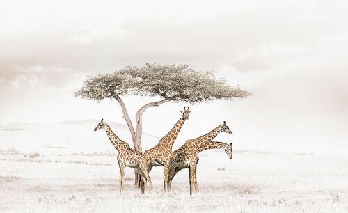 GATHERING GIRAFFES - KLAUS TIEDGE - Photograph