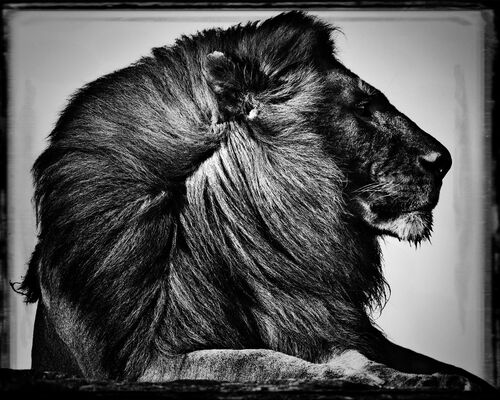 CRINIÈRE DE LION - LAURENT BAHEUX - Photograph