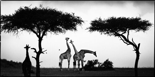 Girafe Between Trees
