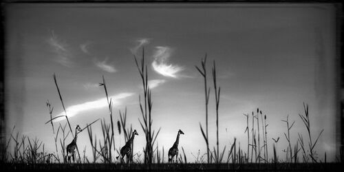 Girafes in the Grass - LAURENT BAHEUX - Photograph