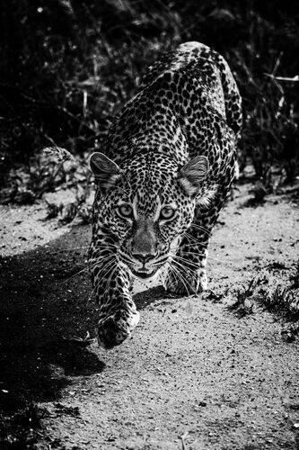 HUNTING LEOPARD - LAURENT BAHEUX - Photograph