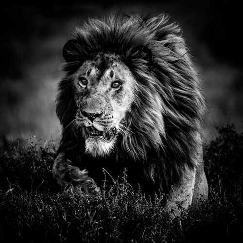 Hunting lion, Tanzania 2015 - LAURENT BAHEUX - Photograph