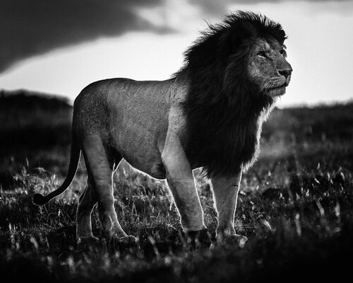 LION AGAINST SUNSET LIGHT - LAURENT BAHEUX - Kunstfoto