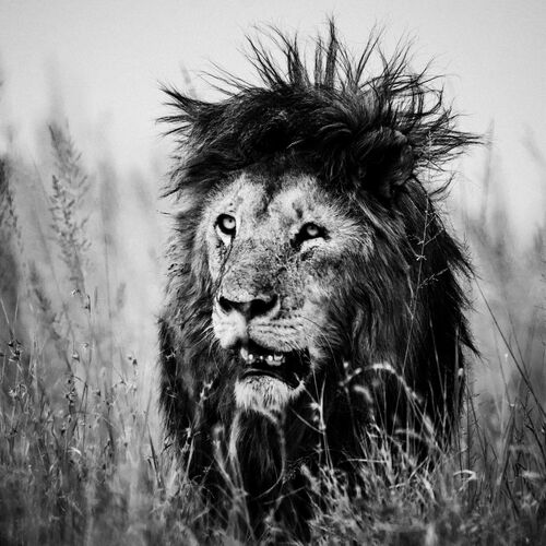 LION AS A ROCK STAR - LAURENT BAHEUX - Kunstfoto