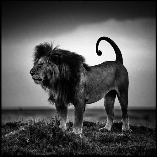 Lion Before Storm - LAURENT BAHEUX - Fotografía