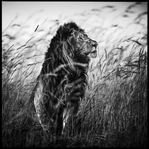 Lion in the Grass I - LAURENT BAHEUX - Fotografía
