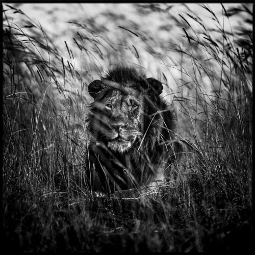 Lion in the Grass II - LAURENT BAHEUX - Photograph