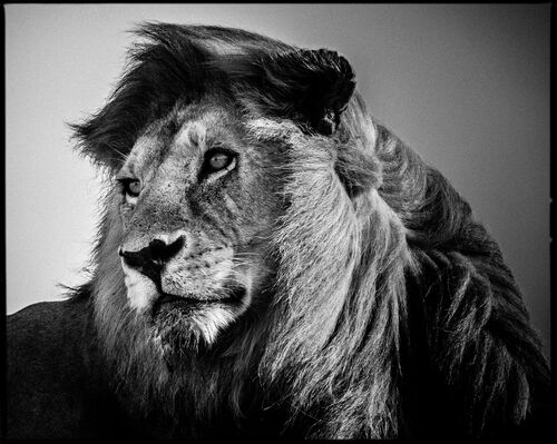 Lion in the Wind 2 - LAURENT BAHEUX - Kunstfoto