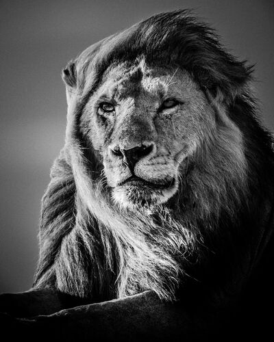 Lion in the Wind V - LAURENT BAHEUX - Fotografia