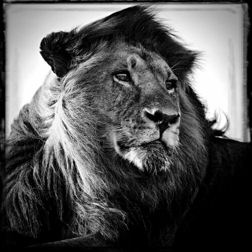 Lion in the Wind - LAURENT BAHEUX - Fotografía