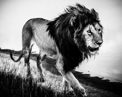 LION WALKING ALONE 2 - LAURENT BAHEUX - Kunstfoto