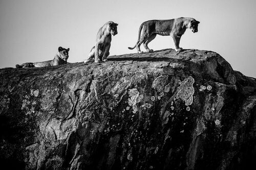 Meeting of lions on the big rock, Tanzania 2015