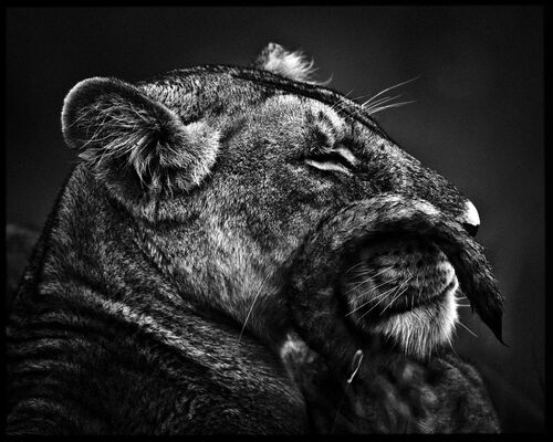 Moustache de lionne - LAURENT BAHEUX - Photograph
