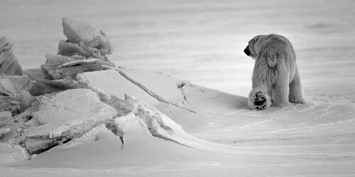 OURS BLANC EN SON ROYAUME I - LAURENT BAHEUX - Photographie