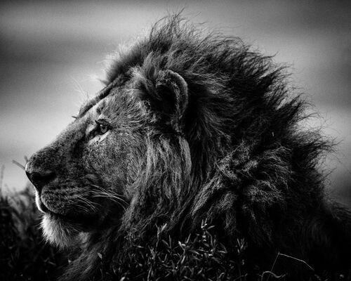 STRONG AND SWEET LION, TANZANIA 2015 - LAURENT BAHEUX - Fotografie