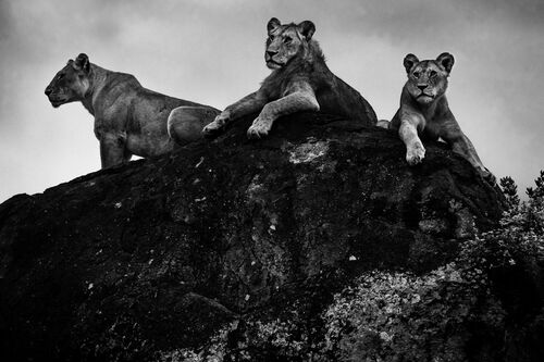THREE LION ON A ROCK - LAURENT BAHEUX - Kunstfoto