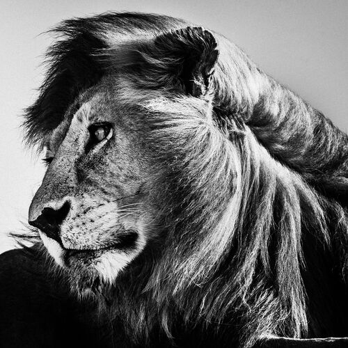 WILD LION PORTRAIT 1 - LAURENT BAHEUX - Photograph