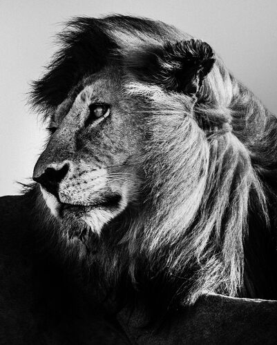 WILD LION PORTRAIT 2 - LAURENT BAHEUX - Kunstfoto