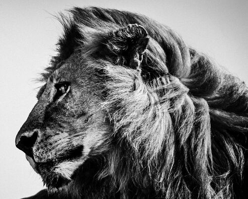 WILD LION PROFILE - LAURENT BAHEUX - Kunstfoto