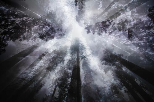 MIST AND SEQUOIA - LAURENT DEQUICK - Kunstfoto