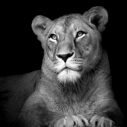 The Lioness - LUKAS HOLAS - Photograph