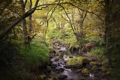 DEER DRINKING FROM STREAM