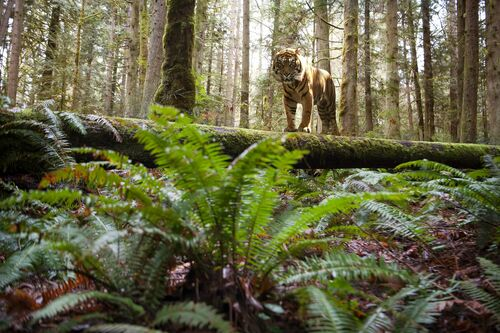 PANGEA TIGER 1 - MICHAEL NALLEY - Photograph