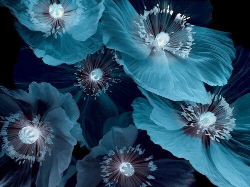 Fleurs De Pavot - MICHEL GANTNER - Photograph