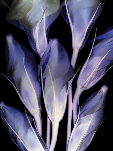 Lysianthus - MICHEL GANTNER - Fotografia